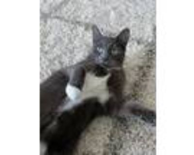 Adopt Stanley a Gray or Blue (Mostly) American Shorthair / Mixed (short coat)