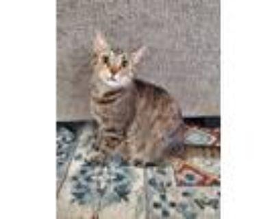 Adopt Echo a Calico or Dilute Calico Calico / Mixed (medium coat) cat in