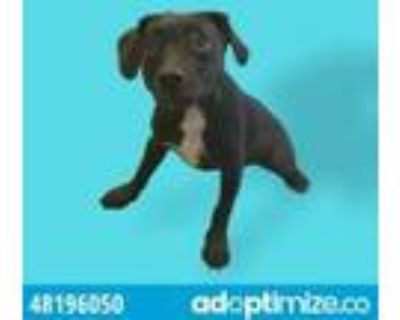 Adopt 48196050 a Black Retriever (Unknown Type) / Mixed dog in El Paso