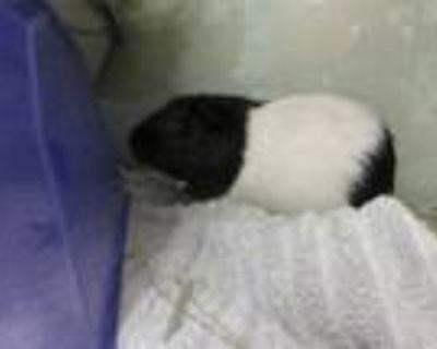 Adopt WASHINGTON a Guinea Pig