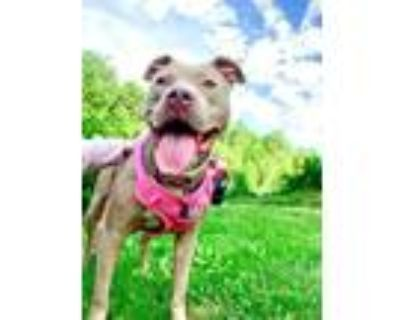 Adopt Buttons a Pit Bull Terrier, Staffordshire Bull Terrier