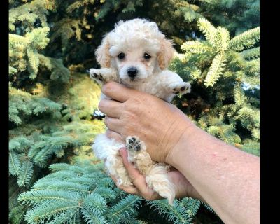 Toy Poodle Puppy Available