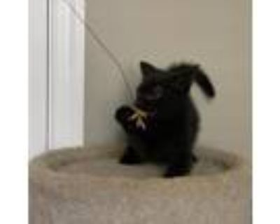 Adopt Evie a All Black Domestic Shorthair / Mixed cat in Waldorf, MD (32060397)