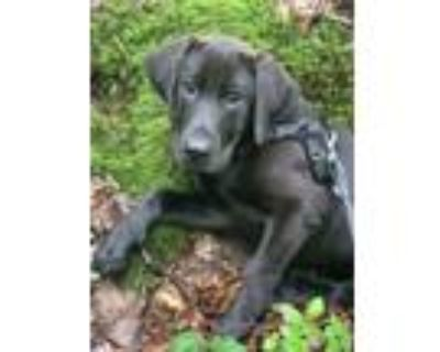 Adopt Jesse a Labrador Retriever