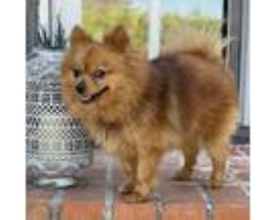 Adopt Sunny D4623 a Red/Golden/Orange/Chestnut Pomeranian / Mixed dog in