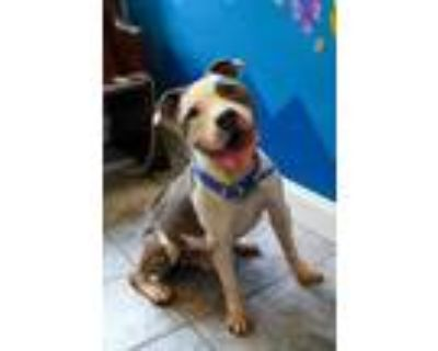 Adopt PAULY a White American Pit Bull Terrier / Mixed dog in Newport News