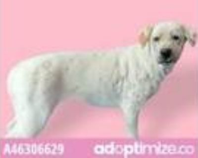 Adopt Daffodil a White Catahoula Leopard Dog / Mixed dog in El Paso