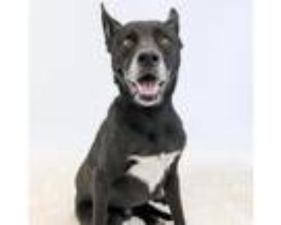 Adopt Little One a Black Shepherd (Unknown Type) / Labrador Retriever dog in