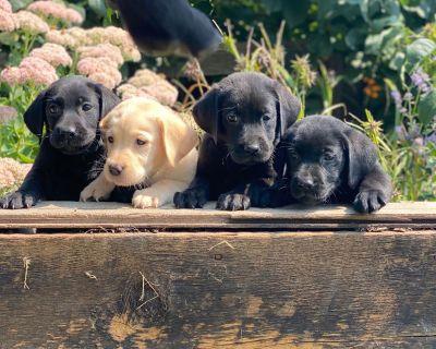Labrador Retriever Puppies Blacks and Yellows