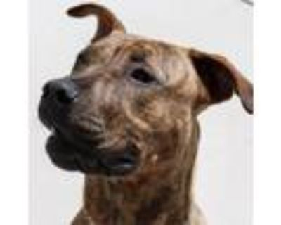 Adopt Tommy - ECAS a Brown/Chocolate Pit Bull Terrier / Mixed dog in Pleasanton