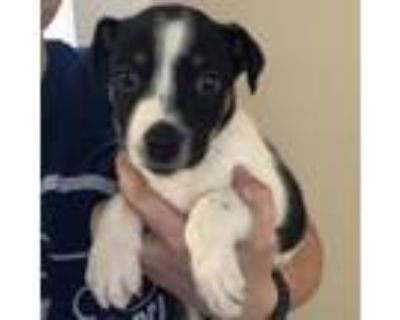 Adopt Elle a White Border Collie / Border Terrier / Mixed dog in Merriam