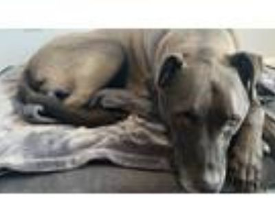 Adopt Jax a Black - with White Retriever (Unknown Type) / Boxer / Mixed dog in