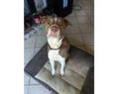 Adopt Mr. P a Pit Bull Terrier