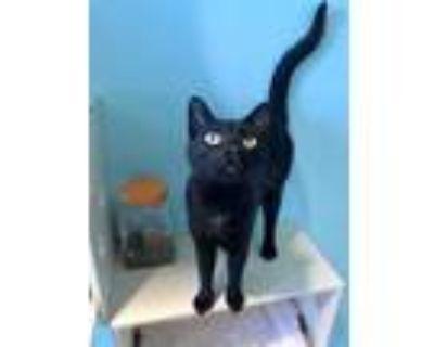 Adopt Nairobi a All Black Domestic Shorthair / Domestic Shorthair / Mixed cat in