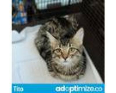 Adopt TITO a Brown Tabby Domestic Shorthair / Mixed (short coat) cat in Tucson