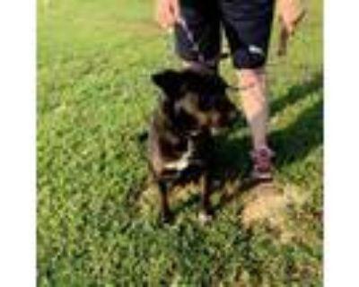 Adopt Lindie a Pit Bull Terrier, Australian Cattle Dog / Blue Heeler