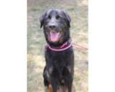 Adopt T-Bone a Rottweiler, Labrador Retriever