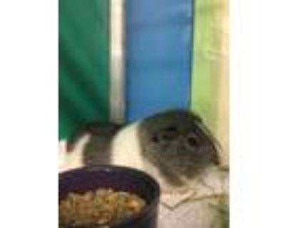 Adopt JAKE a Guinea Pig