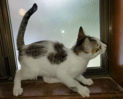 Kittens white with spots calico mother