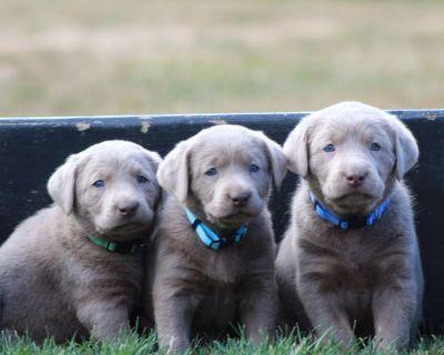 AKC silver labrador retriever puppies