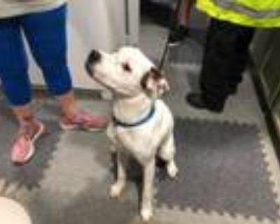 Adopt JUNIOR PATRICK a American Staffordshire Terrier, Labrador Retriever