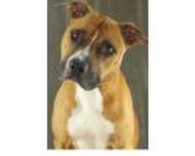 Adopt Gladstone a Brown/Chocolate Boxer / Mixed dog in Shreveport, LA (31987321)