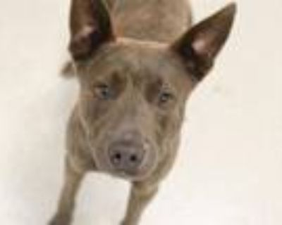 Adopt BLUE a Pit Bull Terrier, Mixed Breed