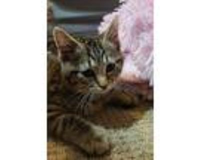 Boots, Domestic Shorthair For Adoption In Gaithersburg, Maryland