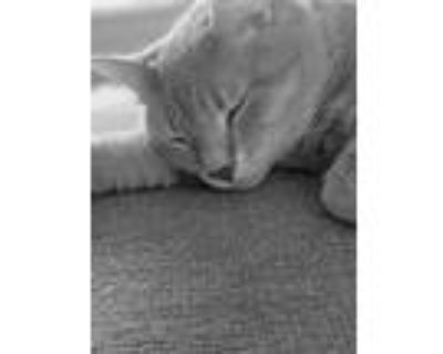 Adopt Teetee a Tan or Fawn (Mostly) American Shorthair / Mixed (short coat) cat