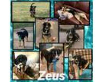 Adopt Zeus a Rottweiler, Bernese Mountain Dog