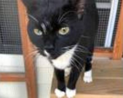 Adopt Cookie a Black & White or Tuxedo Domestic Shorthair (short coat) cat in