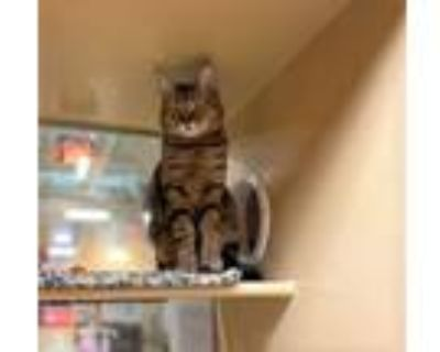 Adopt Baby Doll (&Henry) a Domestic Short Hair