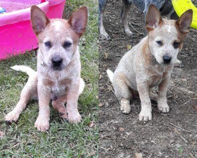 Australian Cattle Dog Heeler Puppies