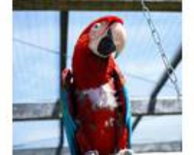 Adopt Scooby a Macaw