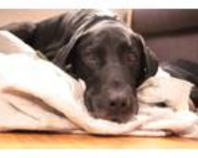 Adopt Griswold a Black Labrador Retriever / Great Dane / Mixed dog in Milwaukie