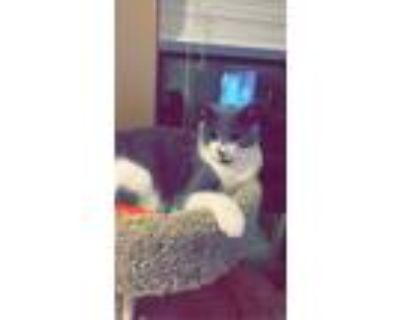 Adopt Mochi a Gray or Blue American Shorthair / Mixed (short coat) cat in Fort