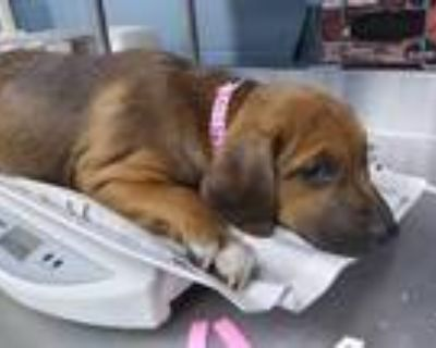 Adopt THREE a Brown/Chocolate - with White Labrador Retriever / Mixed dog in San