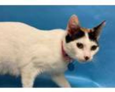 Adopt 48292333 a White Domestic Shorthair / Domestic Shorthair / Mixed cat in