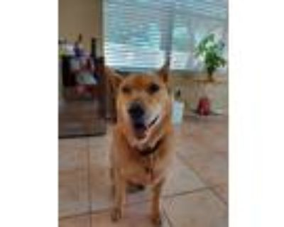Adopt Ginger a Tan/Yellow/Fawn - with Black German Shepherd Dog / Chow Chow /