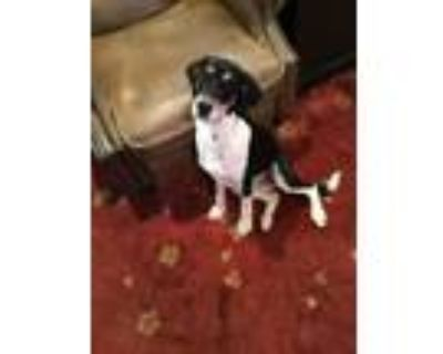 Adopt Ashley a Black - with White Hound (Unknown Type) / Mixed dog in Stone