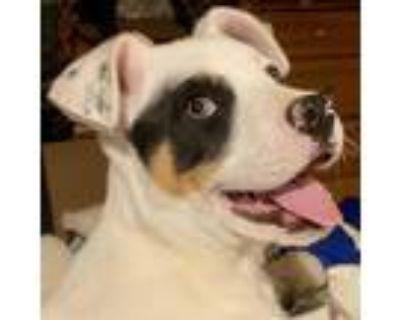 Adopt Zarah a White Blue Heeler / Mixed dog in Wichita, KS (31174927)
