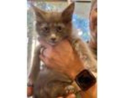 Adopt Kay a Spotted Tabby/Leopard Spotted Russian Blue cat in Calimesa