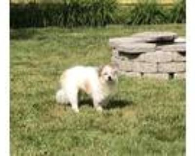 Adopt Alastor a White - with Tan, Yellow or Fawn Chinese Crested / American
