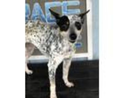 Adopt Cookie a White - with Gray or Silver Blue Heeler / Mixed Breed (Small) /