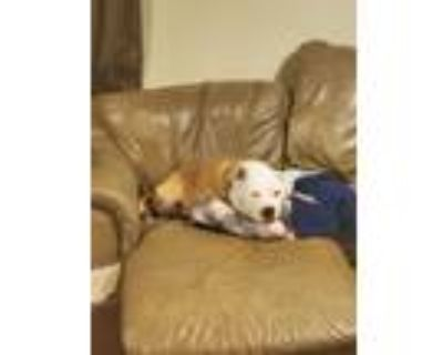 Adopt Izzy a Brindle - with White American Pit Bull Terrier / Terrier (Unknown