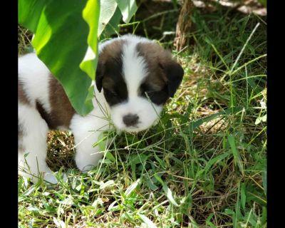 Virginia Saint Bernard Puppies