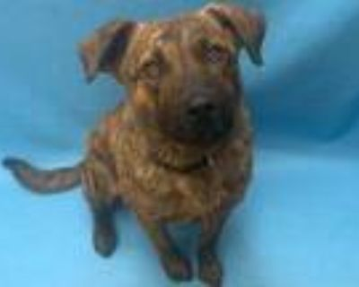 Adopt Emil a Brindle American Pit Bull Terrier / Mixed dog in Woodbury