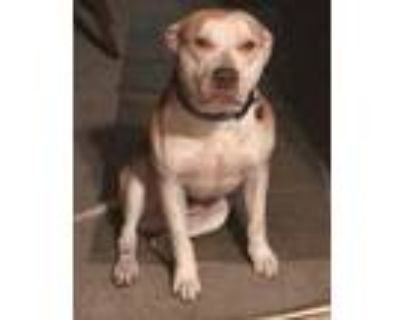 Adopt Goldie a Tan/Yellow/Fawn - with White American Pit Bull Terrier / Mixed
