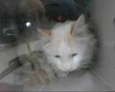 Adopt LINK a White (Mostly) Domestic Longhair / Mixed (long coat) cat in