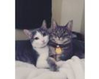Adopt Rory/Jazzy a Cream or Ivory (Mostly) American Shorthair / Mixed (short